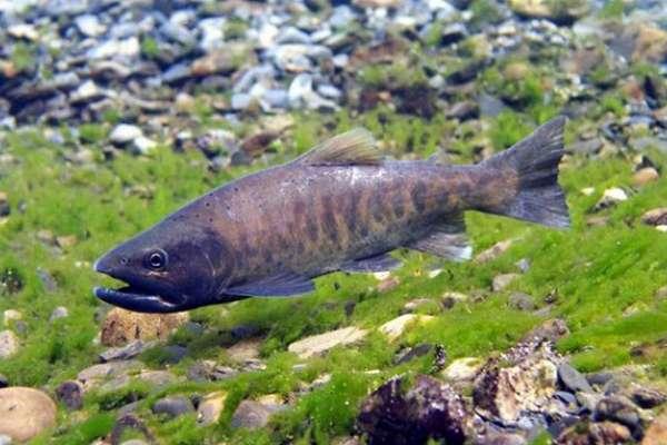 雪霸復育櫻花鉤吻鮭有成,5059尾創新高!是研究員趴在溪裡,一隻一隻算出來的…