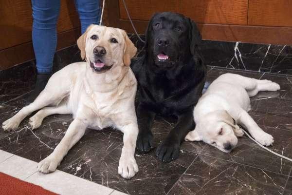忠心、親人又聰明!全美狗奴為「牠」傾心 拉布拉多蟬聯美國最受歡迎犬種28年