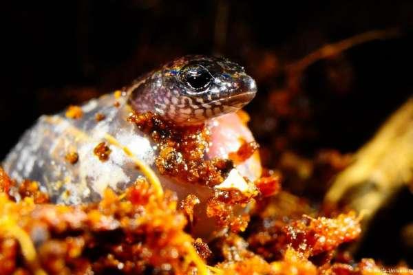 動物界最厲害的媽媽》澳洲蜥蜴「三趾石龍子」既可以卵生、又可以胎生!