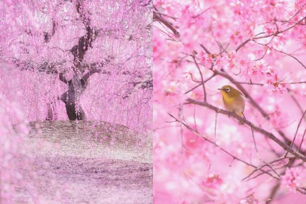 看了一生難忘!日本攝影師拍下「櫻雪漫天」夢幻絕景…細膩純淨、美到超級不真實!