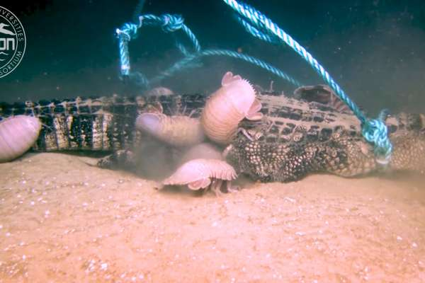 奇觀!粉紅色深海怪物 群集啃食短吻鱷 科學家歎為觀止