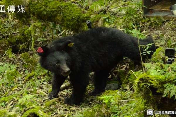 南安小熊妹仔回家了!台灣黑熊野放成功的第1例,保育團隊曝光小熊離別時「回眸」的感人畫面【影音】