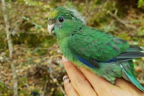 有翅膀的「嬰兒潮」》樹木種子40年來最豐沛,紐西蘭瀕危「橙額鸚鵡」數量可望翻倍!