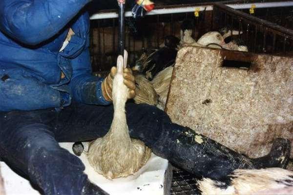 強迫灌食、排泄物泡爛雙腳…高檔鵝肝不只飼養過程慘無人道,其中九成根本是「鴨肝」!