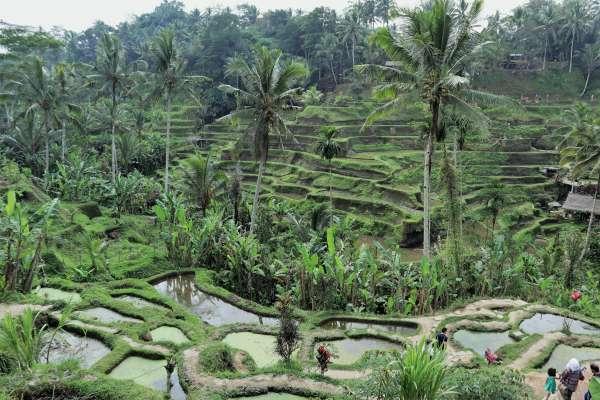 印尼世界遺產之美》峇里島「德哥拉朗梯田」:千年水稻灌溉系統 體現人與自然和諧共存的精神