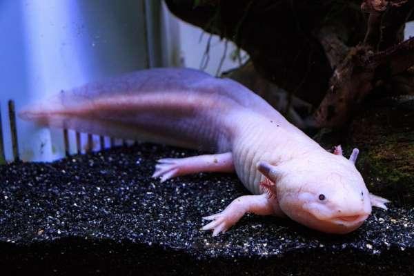 為何蠑螈能斷肢再生,人類斷手斷腳卻長不回來?專家告訴你「再生基因」的秘密