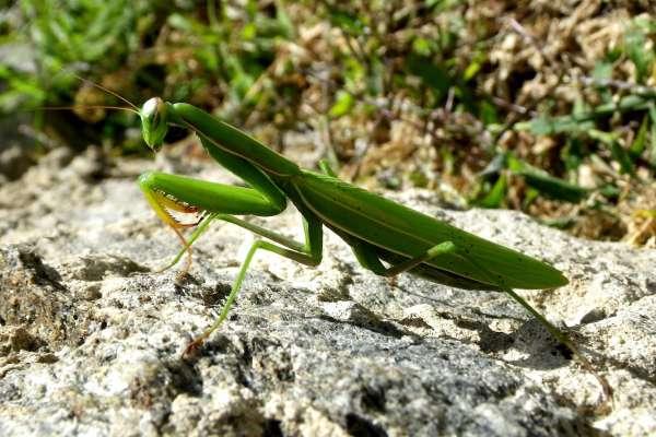 為什麼雌螳螂交配後,一定要啃掉伴侶的頭?科學家做實驗發現驚人真相:原來誤會大了