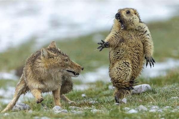 「這是我看過最精彩的動物照片!」捕捉土撥鼠驚恐神情,奪野生動物攝影大賽首獎