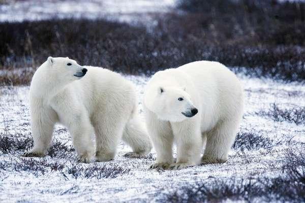 北極熊的皮毛其實是黑色的、加拿大還有「北極熊監獄」揭5大讓你瞠目結舌的北極熊祕密
