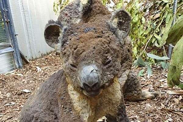 大火再燒下去,無尾熊恐瀕臨絕種!澳洲政府砸15億救國寶,甚至有人提案將牠們遷徙到這裡