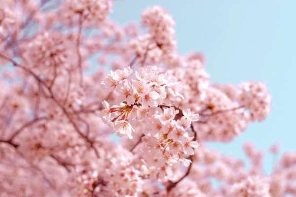 武陵農場櫻花季來了!櫻花季交管期間無住宿通行證車輛一律禁止通行,每日入場總量上限6000人