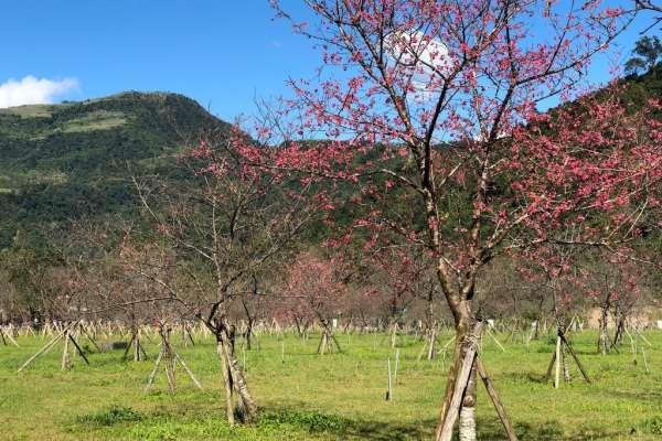 櫻花樹下用餐超浪漫 宜蘭大同推櫻花饗宴