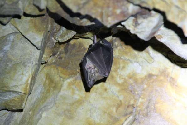 蝙蝠身帶至少200種冠狀病毒,但有些人的生活就是離不開牠…專家:光是去碰蝙蝠就有危險