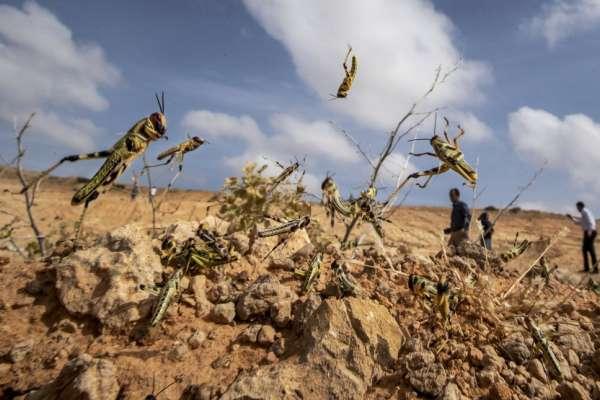 蝗蟲肆虐到該怎麼消滅?專家揭方便又環保的妙招:炸來吃