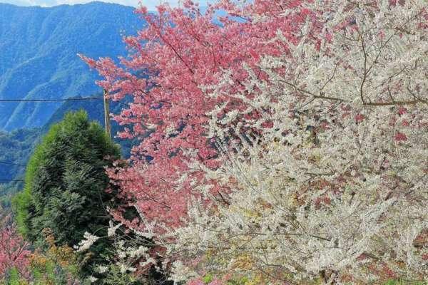 誰說櫻花季一定要去日本看?新竹山間部落「司馬庫斯」賞櫻五大夢幻秘境一次公開