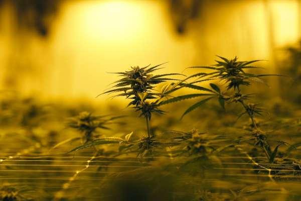 「綠金」商機無限?東南亞大麻合法化第一國!泰國要靠「大麻熱」重振後疫情經濟?