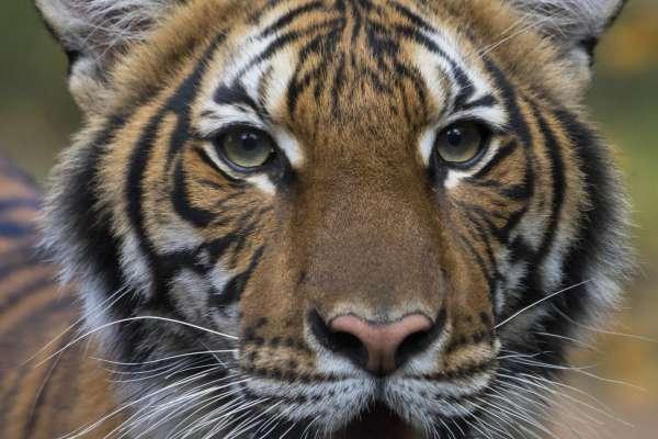 大貓也得新冠肺炎!美國紐約動物園老虎確診 疑遭無症狀感染管理員傳染