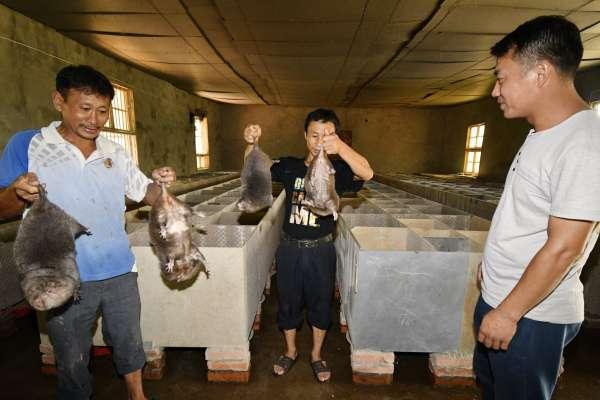 不賣野生動物,中國一年至少虧80億美元!竹鼠養殖戶因政府禁令崩潰了:我現在負債累累