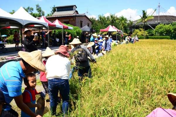 歡喜割禾!體驗六堆客家農事 有米有穀好年豐