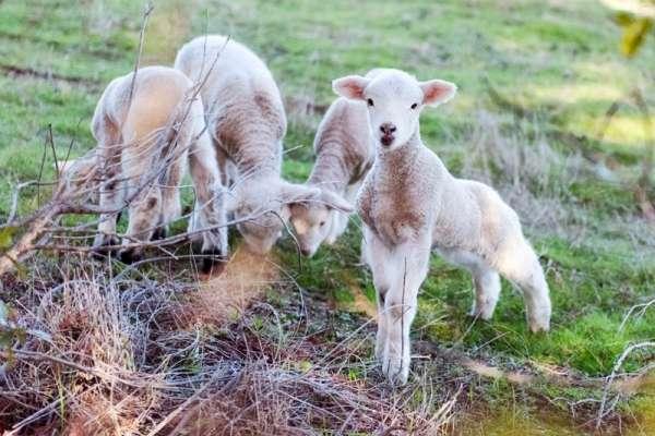 棉羊也幫忙釀酒?為了減少碳排放,全球酒廠各顯神通:綠色釀酒時代正式來臨!