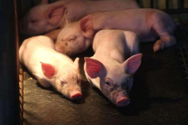 朱淑娟專欄:本土溫體穩稱霸?百億基金不該成為開放萊豬的藉口
