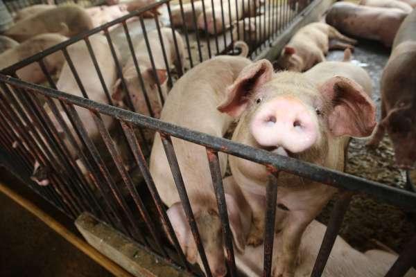 萊豬明年即將來台  政府祭出這些手段讓豬農民眾都安心
