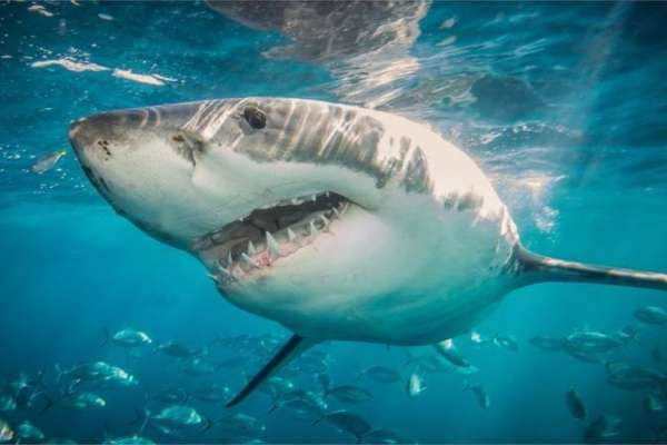 澳大利亞鯊魚攻擊:鯊魚咬死人的真正原因和如何防範