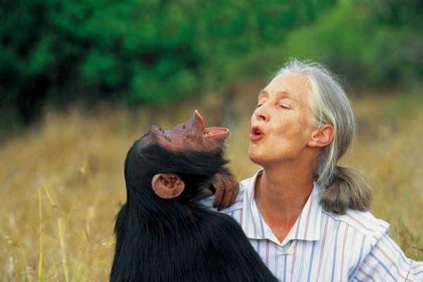 重磅專訪1》6個月的計畫卻做了60年 珍古德揭露保護黑猩猩的背後原因