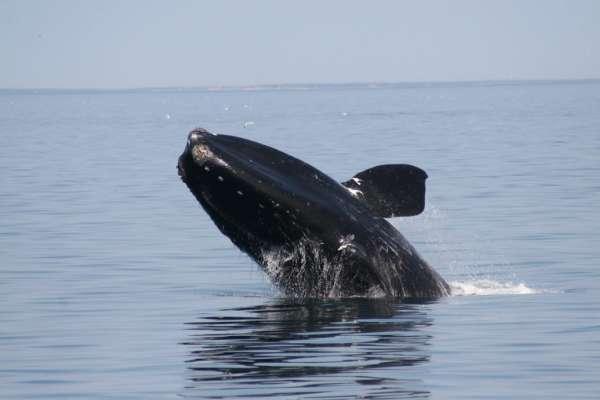 北大西洋露脊鯨為何瀕危?最新研究:與船隻相撞是致命威脅,設置速限也難挽救!