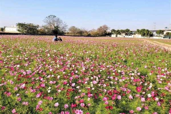 彰縣農民冬季裡作期間種草花 形成彰化另類花海景觀