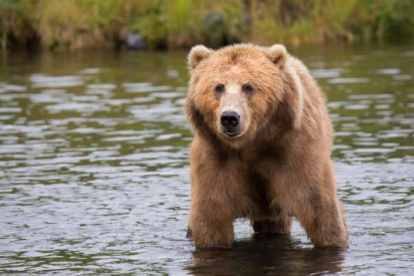 為何歷代帝王都對熊掌著迷不已?揭秘古代熊宴最真實料理秘辛,楚成王臨死前的最後一餐都還指定要吃