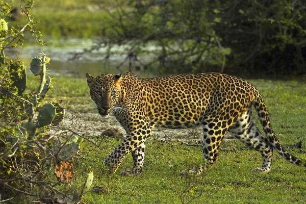 杭州動物園三隻金錢豹「越獄」多日 園方為隱瞞消息道歉