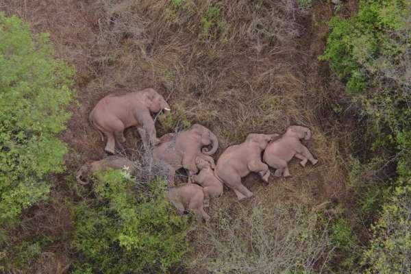 雲南流浪象群「萌」翻全球!母象呵護寶寶睡覺,愜意模樣吸引2億次觀看