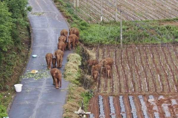 「森林越好,象群越少」?!野生象群一再出走,凸顯中國西雙版納保護區困局