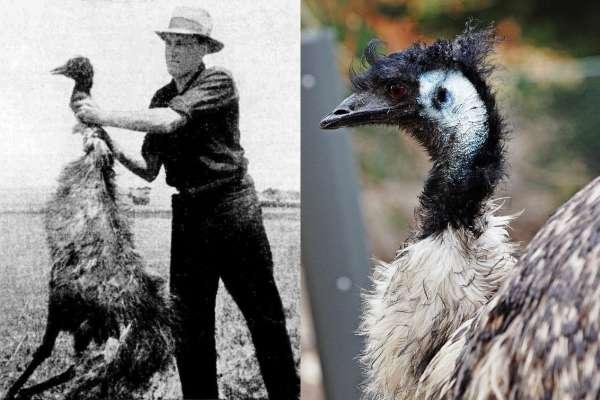 皇家軍團對戰2萬隻大鳥!連噴數萬發子彈,還慘輸投降兩次…揭人類史上最糗戰爭
