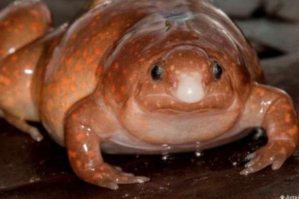 亞馬遜雨林裡的「殭屍蛙」!那些科學家剛發現,就可能瀕臨滅絕的兩棲物種