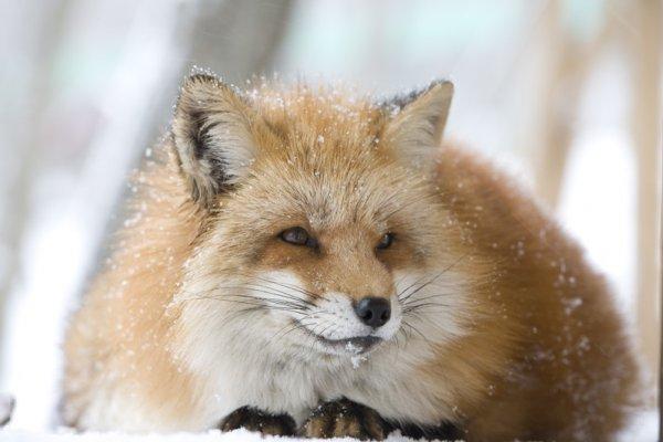 狐の町-狐狸居住的村莊