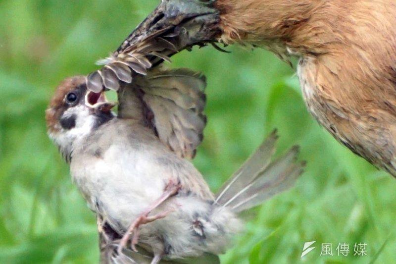 禽流感傳染方式仍是「禽傳禽」,務必防範禽流感演變成「禽傳人」。(資料照,蘇仲泓攝)