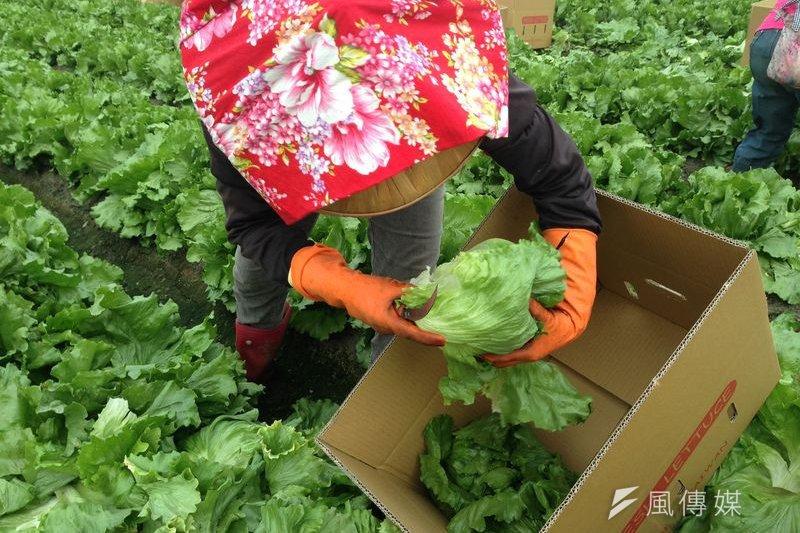 田間採收美生菜。(作者提供)