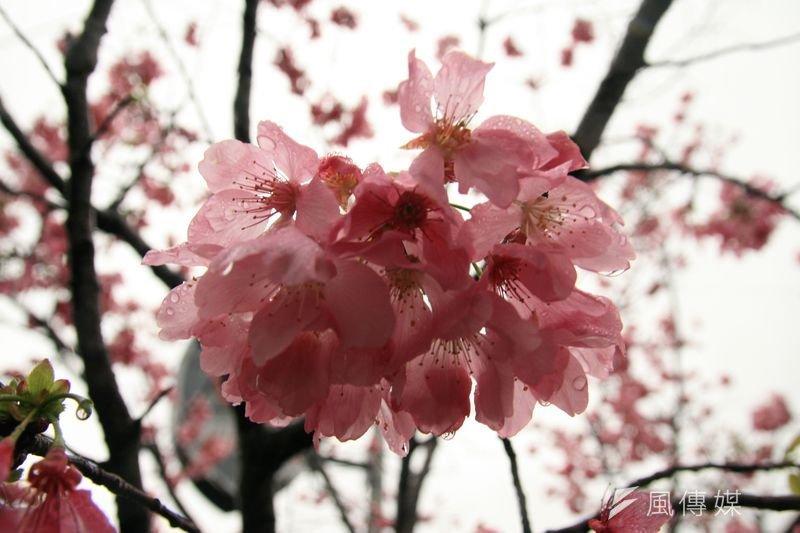 王定國新作〈敵人的櫻花〉書寫的是愛的輓歌。(黃昶憲攝/印刻提供)