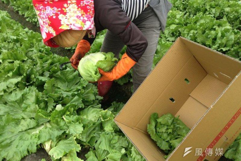 美生菜冬季大量出口日本市場。(作者提供)