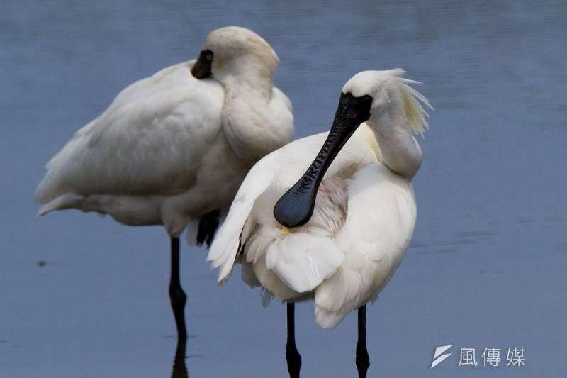 鳥,黑面琵鷺(呂紹煒攝)