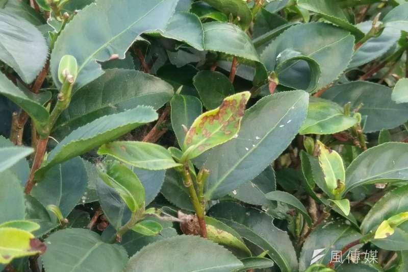 由於不施放農藥,有機茶園的茶樹上常會留下被昆蟲叮咬的痕跡。(陳俐穎攝)
