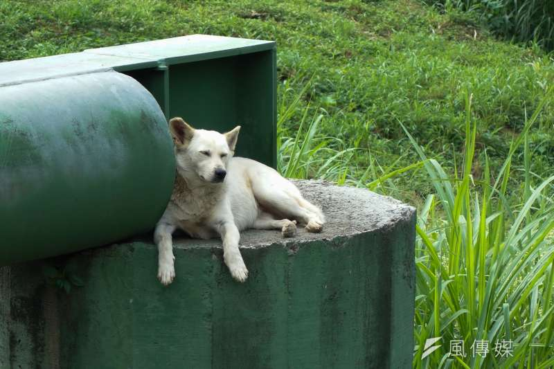 流浪狗問題有待政府解決,農委會表示會努力提高晶片植入率,也會研議狗臉辨識的辦法。(資料照,陳明仁攝)