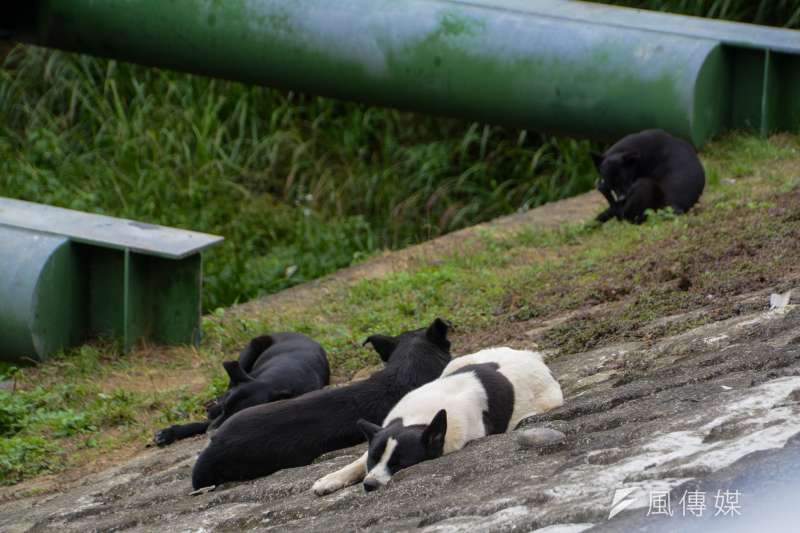 2.專題配圖-流犬專題-景美溪畔河堤上.流犬舒懶地沐浴在溫暖陽光下.(陳明仁攝)