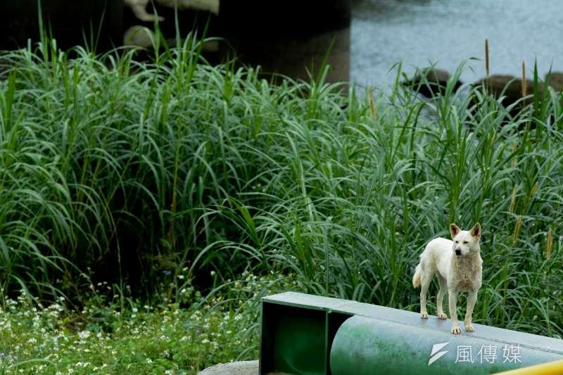 5.專題配圖-流犬專題-景美溪畔.流犬站在放流管上凝視周遭.尋找零撲殺元年之後的未來?(陳明仁攝)