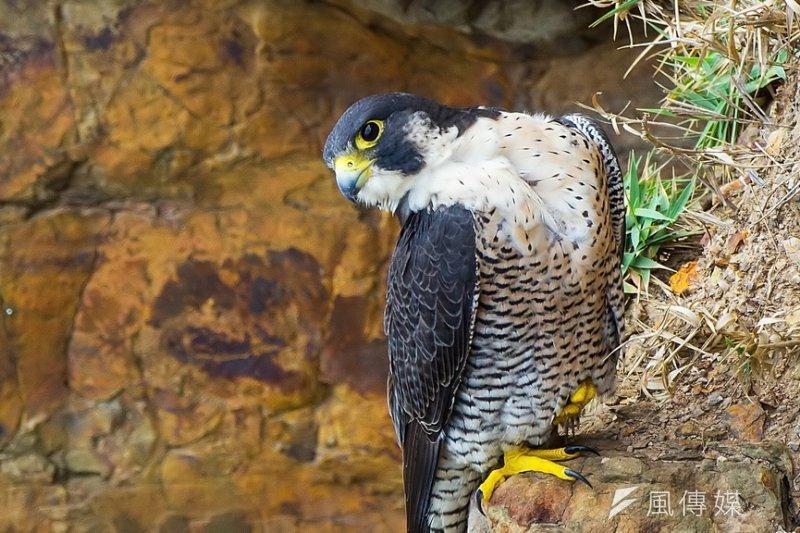 基鳥率爾公布遊隼築巢消息是台灣生態保育道德的倒退。(呂紹煒攝)