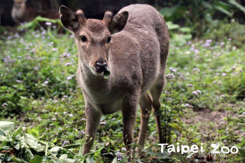 台灣動物區去年出生的梅花鹿「梅冠」,頭上已經長出一對小巧的鹿茸。(北市動物園提供)