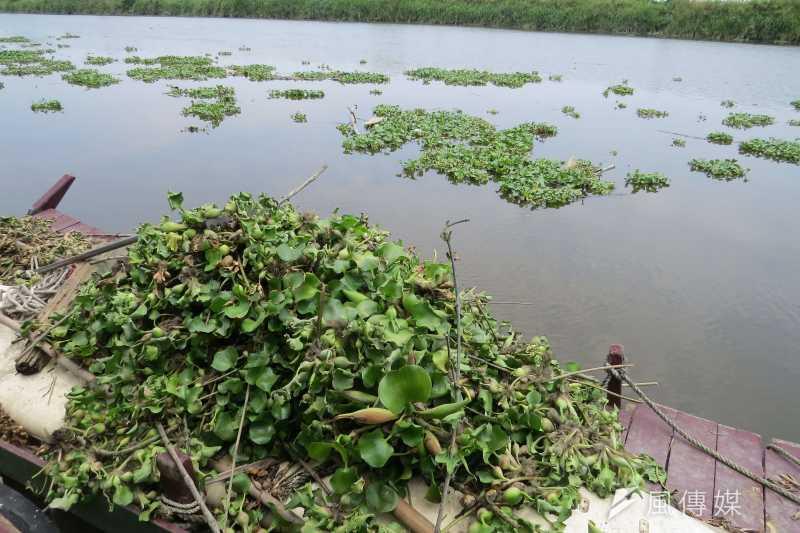 朴子溪下游感潮帶布袋蓮繁殖迅速,環保生態亮紅燈。(圖/謝敏政攝)
