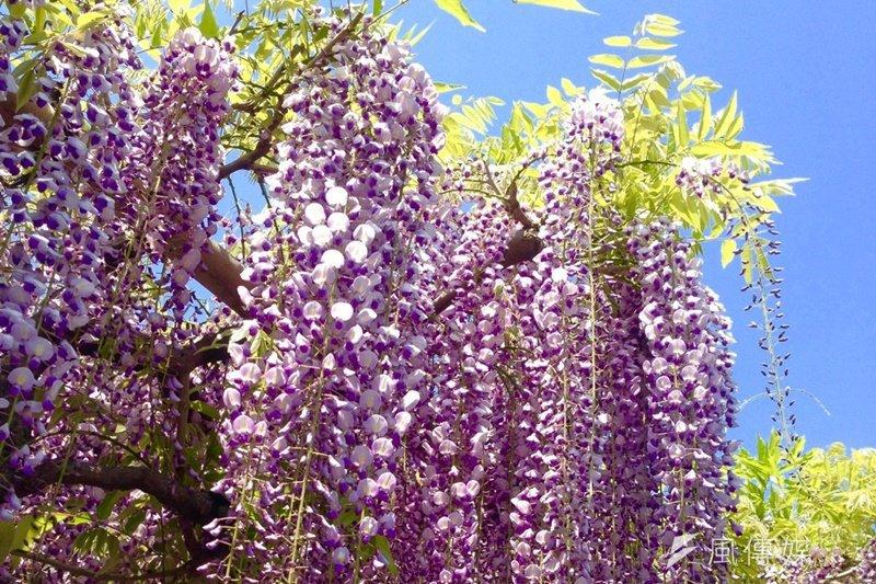 東京龜戶天神社的紫藤花祭,吸引許多人前往欣賞。(圖/蔡昀暻攝)
